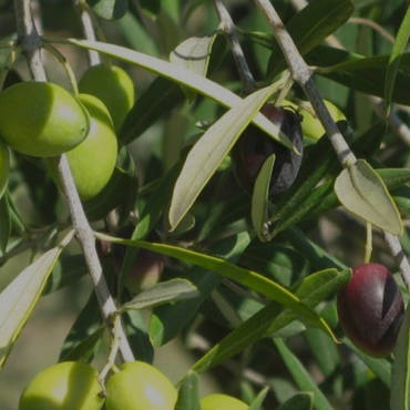 The origins of Carolea's olive