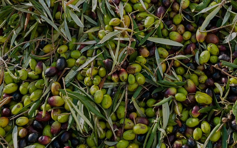 The origins of Coratina's olive